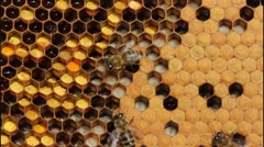 Stock Video Footage of Life and reproduction of bees
