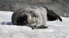 Weddell seal sleep Stock Footage