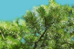 Branch of green pine closeup, nature background Stock Photos