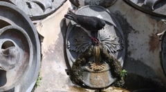 Pigeon drinking water at the fountain Stock Footage