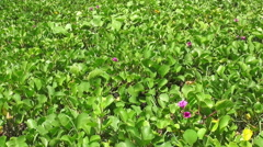 HD Format : Big green leaves moving in the wind. Stock Footage