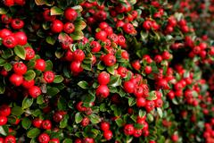 Bright red cotoneaster berries - stock photo