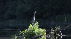 Heron standing on a bush in the morning sun Stock Footage