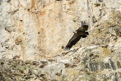 Griffon Vulture flying Kuvituskuvat