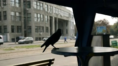 Raven on the table in a sidewalk cafe - stock footage