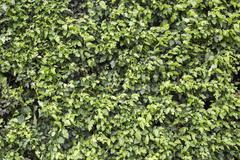 Lush green hedge background - stock photo