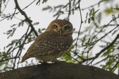 Spotted Owlet (Athene Brama) Stock Photos