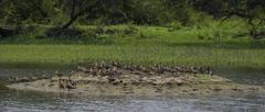 Lesser Whistling Ducks (Dendrocygna Javanica) Stock Photos