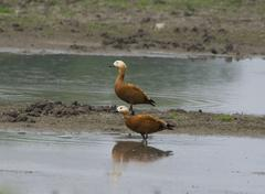 Ruddy Shelduck (Tadorna ferruginea) Stock Photos