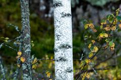 Aspen trunk - stock photo