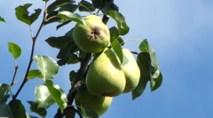 green pears on a tree close-up against the sky - stock footage