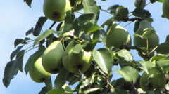 Green pears on the tree Stock Footage