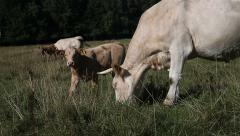 White cow and calf grazing in pasture - stock footage
