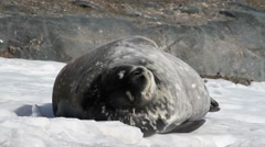 Weddell seal sleeping - stock footage