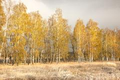 yellow birch and the first fallen snow - stock photo