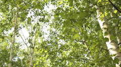 Birch grove in the spring. Stock Footage