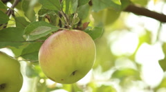 Picking apples on the tree. - stock footage