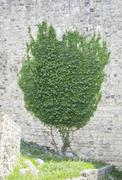 Stock Photo of Ivy on a wall shaped like a tree