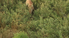 Stray dog in the bushes. Stock Footage