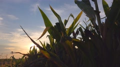 Corn field in sunset, maize plants against sky Stock Footage