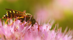 Macro shot of honey bee pollinating pink flower Stock Footage