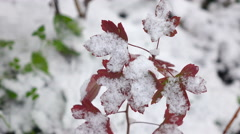 Red leaves with Snow  Stock Footage