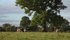 wide shot of English country scenery a lively cow jumps runs across the frame. - stock footage