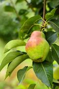 Red ripe pear on the background of green foliage. Pear tree. Stock Photos