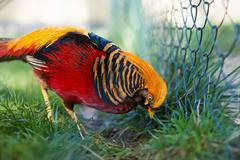 Portrait of captive Golden Pheasant (Chrysolophus pictus) Stock Photos