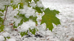 Green leaves with snow  3 Stock Footage