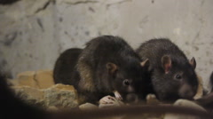 Rats In The Cave Stock Footage