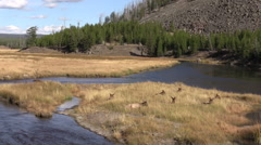 Bedded Elk Herd Along a River During the Fall Rut - stock footage