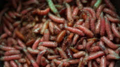 Group Of  Pink Maggots (Acheta Domesticus) Insect Larvae,Bait for Fishing Rod Stock Footage
