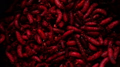Group Of  Red Maggots (Acheta Domesticus) Insect Larvae,Bait for Fishing Rod Stock Footage