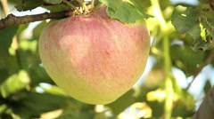 Picking apples on the tree. Stock Footage