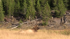 Stock Video Footage of Bull  Elk Bedded in a Meadow in the Fall Rut