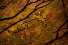 Beech Branch with yellow autumn leaves. - stock photo