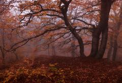 Stock Photo of Beech forest in autumn mist.