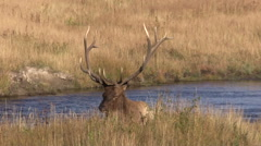 Bull  Elk Bedded Along River in the Fall Rut - stock footage