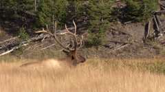Bull  Elk Bedded in the Fall Rut - stock footage