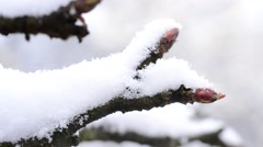 Apple tree twig with mature buds with snow falling onto it Stock Footage