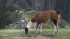 Grazing llama Stock Footage
