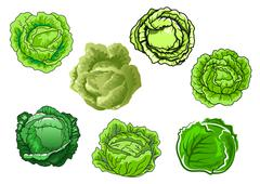 Fresh isolated green cabbage vegetables Stock Illustration