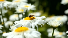 Honey bee collects pollen on a daisy flower Stock Footage