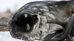 Weddell seal scratch his body - stock footage