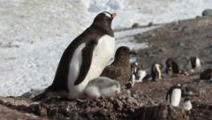 Penguin on the shore Stock Footage