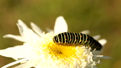 Caterpillars on a bright white flower Stock Footage