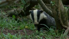 Badger Meles Meles Stock Footage