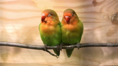 Two parakeets on a twig Stock Footage