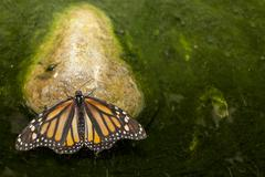 Monarch butterfly perched over green pond - stock photo